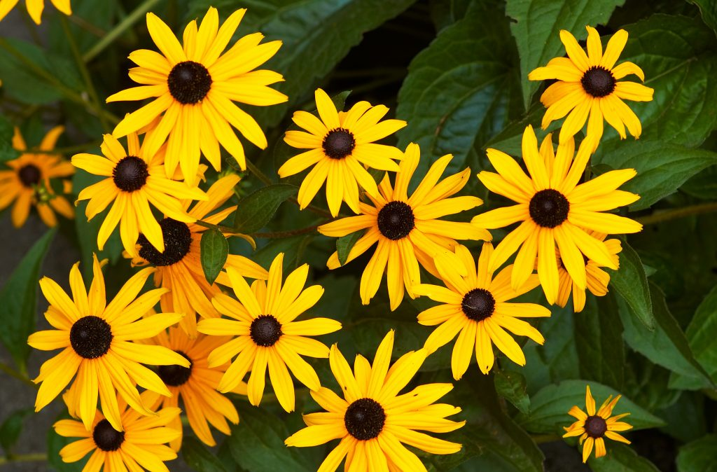 Image of Black-eyed Susans