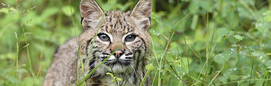 Image of a Bobcat