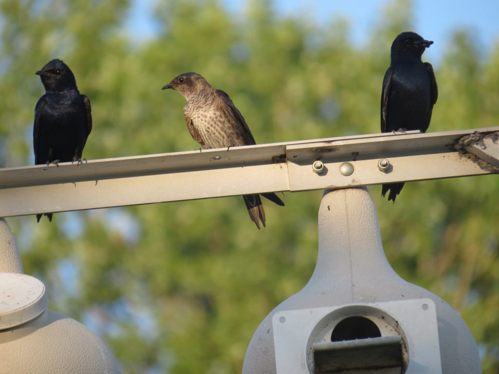 Image of Purple Martins by Marine Morel