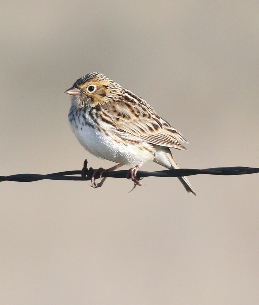 Image of a Baird's Sparrow