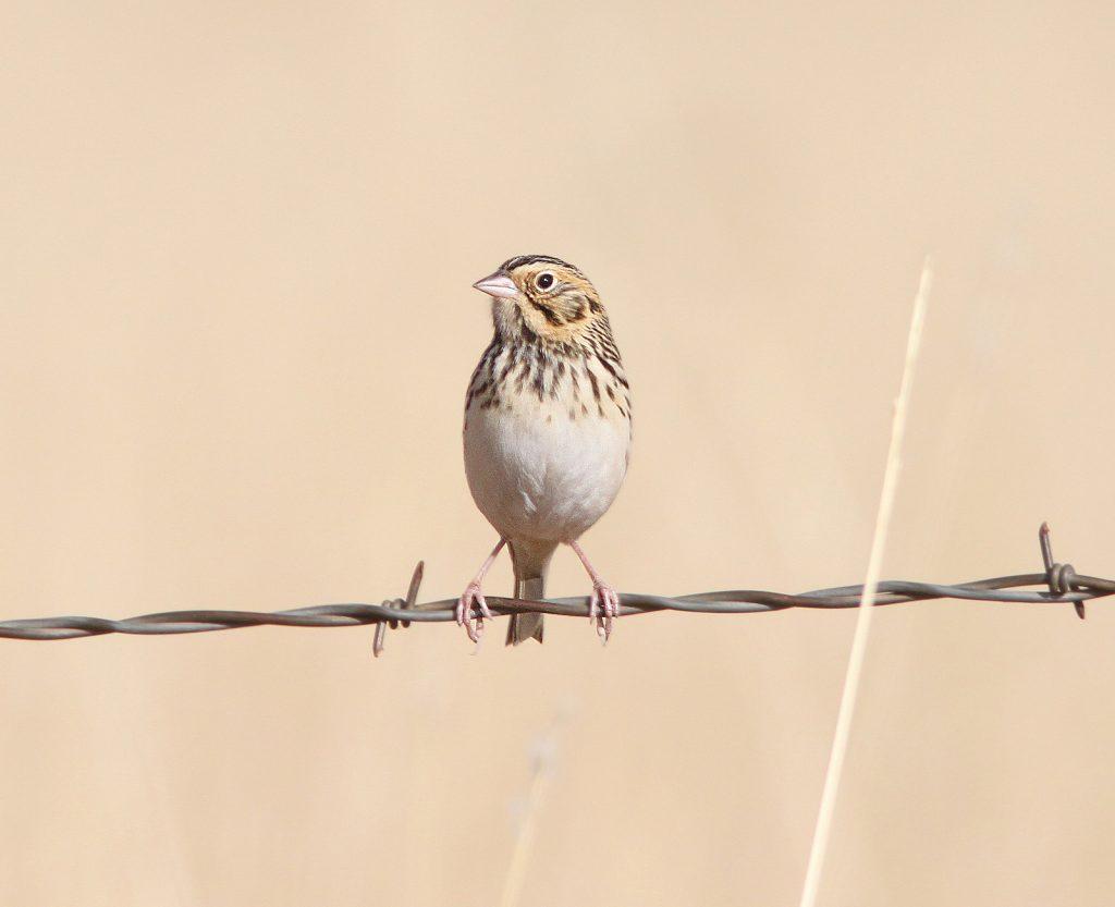 Image of a Baird's Sparrow