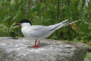 Image of a Roseate Tern