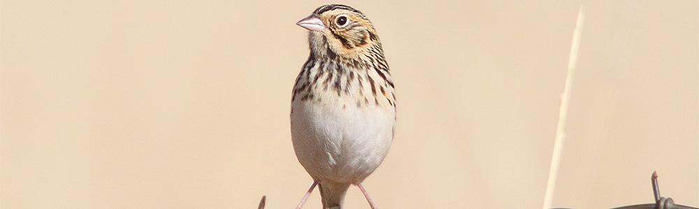 Ever Heard of a Baird's Sparrow?