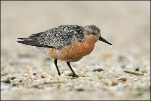 Image of a Red Knot