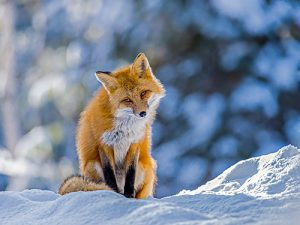 Image of a Fox on a Hill by Chris St. Michael