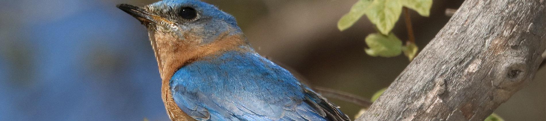 Image of an Eastern Bluebird