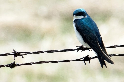 Image of a Tree Swallow
