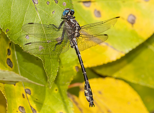 Image of an Olive Clubtail by Jim Johnson