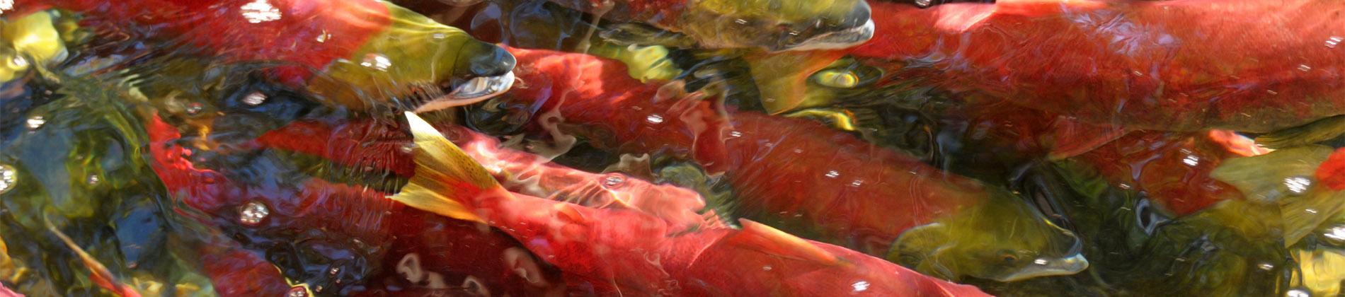 Feds Introduce Legislation to Restore Fish Habitat Protection