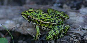 Image of Northern Leopard Frog