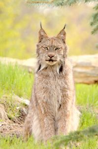 Image of Canada Lynx