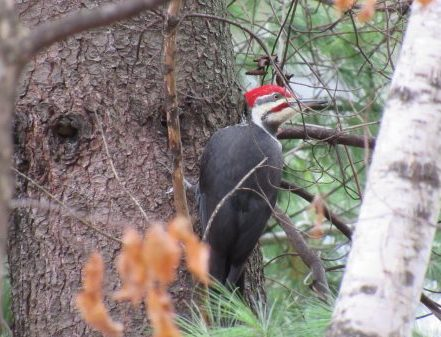 Image of a Pileated Woodpecker. Photo by Sherry Nigro.