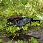 Image of a Rusty Blackbird