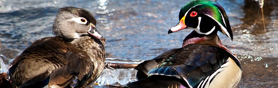 Image of Wood Ducks