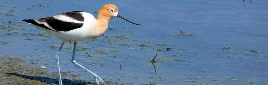 Image of an American Avocet