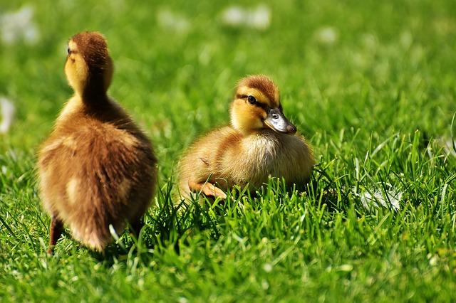 Image of ducklings