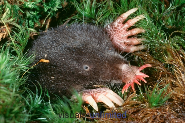 Image of Star-Nose Mole