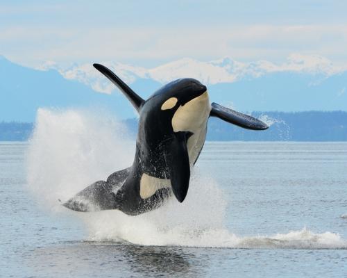nature canada  u2013 killer whales in the canadian arctic  u2013 a