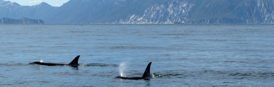 Killer Whale tails seen in water