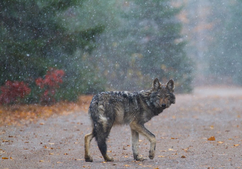 Image of an Algonquin Wolf