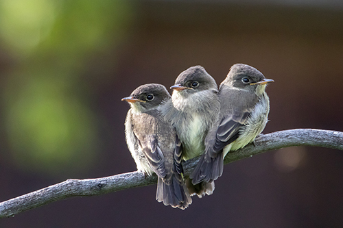 Photo of Juvenile Western Wood-Pewees by Tony LePrieur.