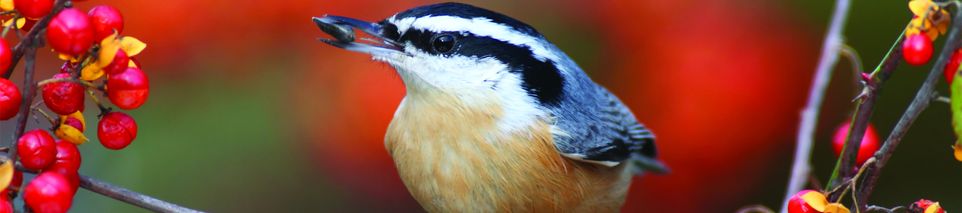 Image of a Red-breasted Nuthatch