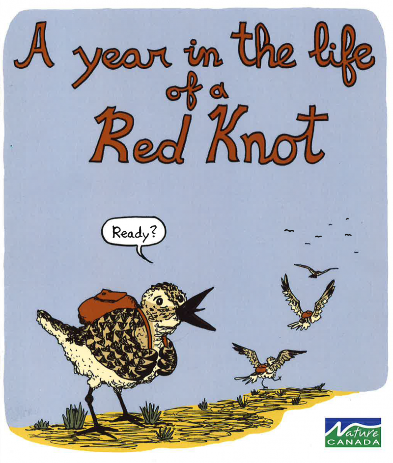Image of Rufus the Red Knot