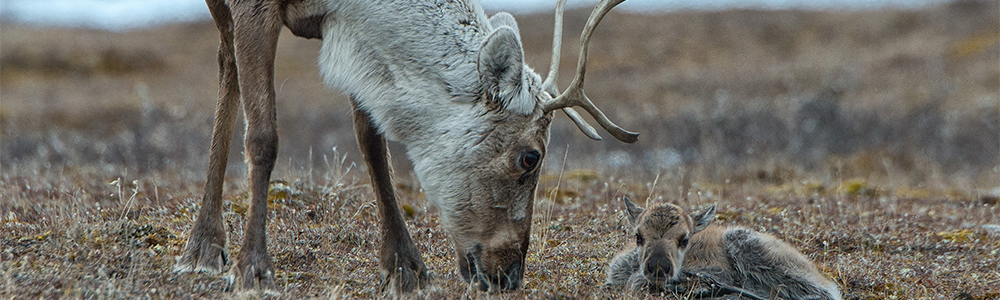 No Drilling in the Arctic Refuge, President Trump!