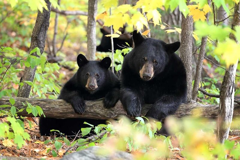 Image of Black Bear Sow and Cub by Megan Lorenz