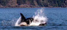 Feds reject Emergency Order for Orcas