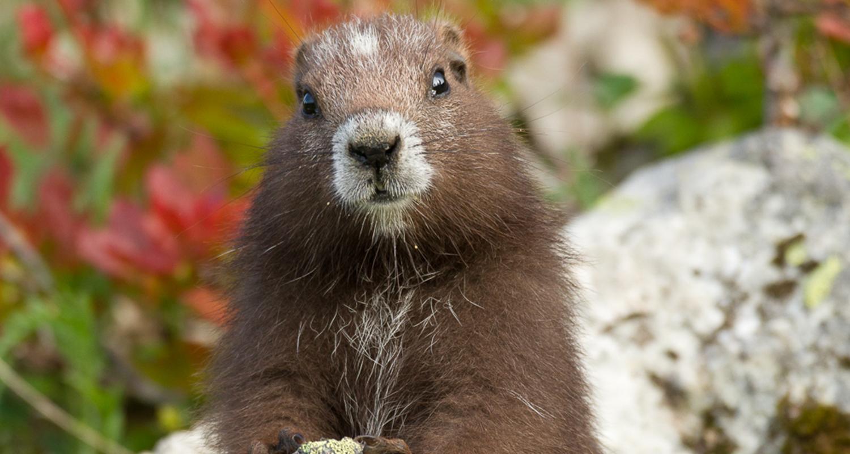 Vancouver Island Marmot
