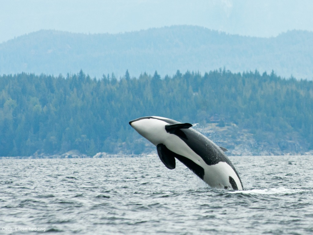 Noise Monitoring won't save the Orcas