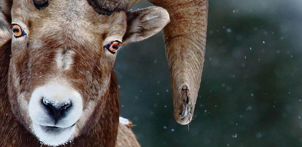 Bighorn Sheep by Tim Hopwood