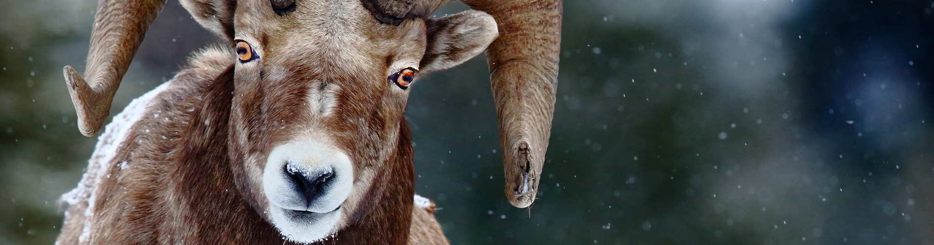Five reasons to protect Bighorn Country!
