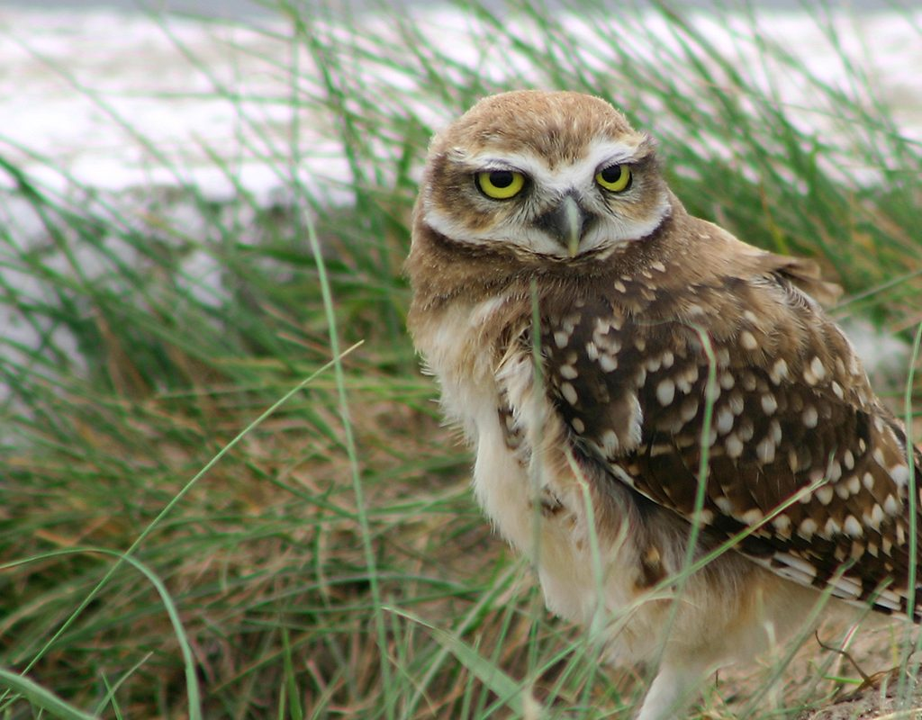 Image of a Burrowing Owl