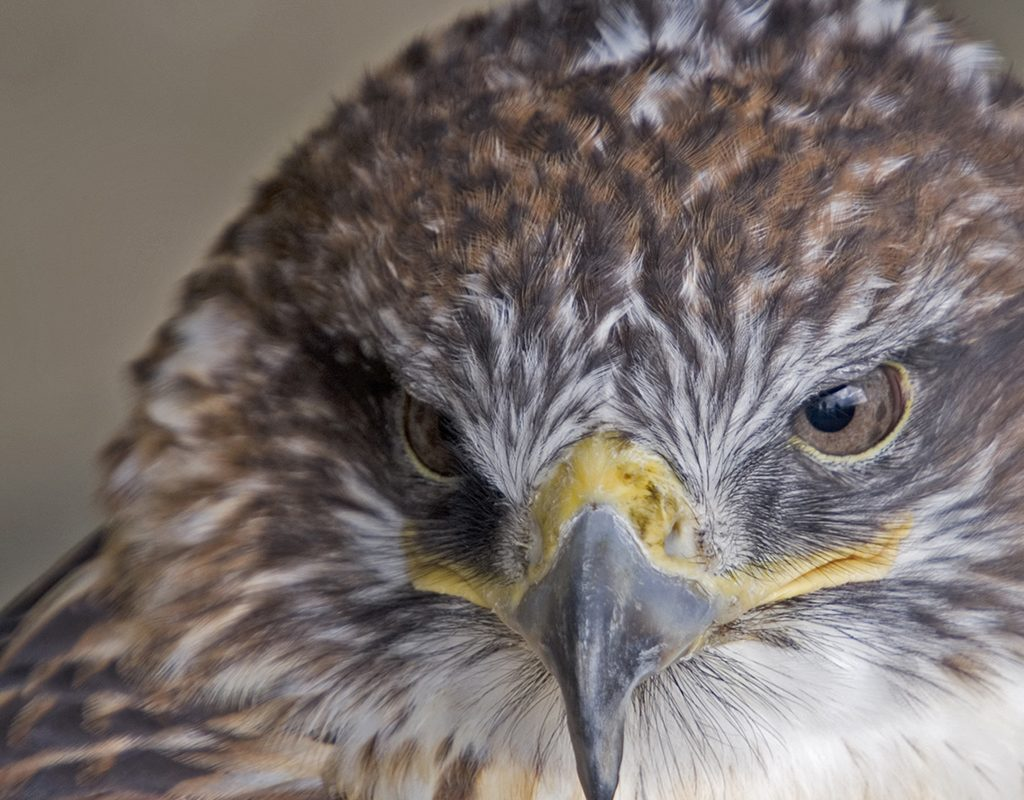 Image of a Ferruginous Hawk