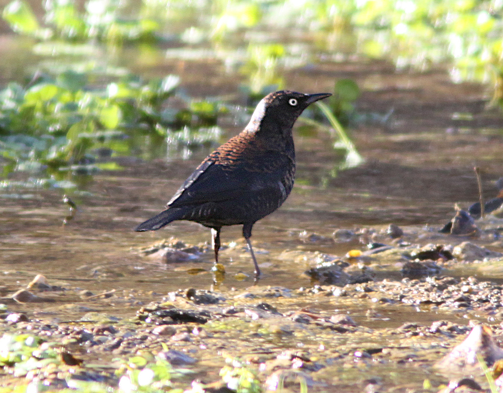 Image of a Rusty Blackbird