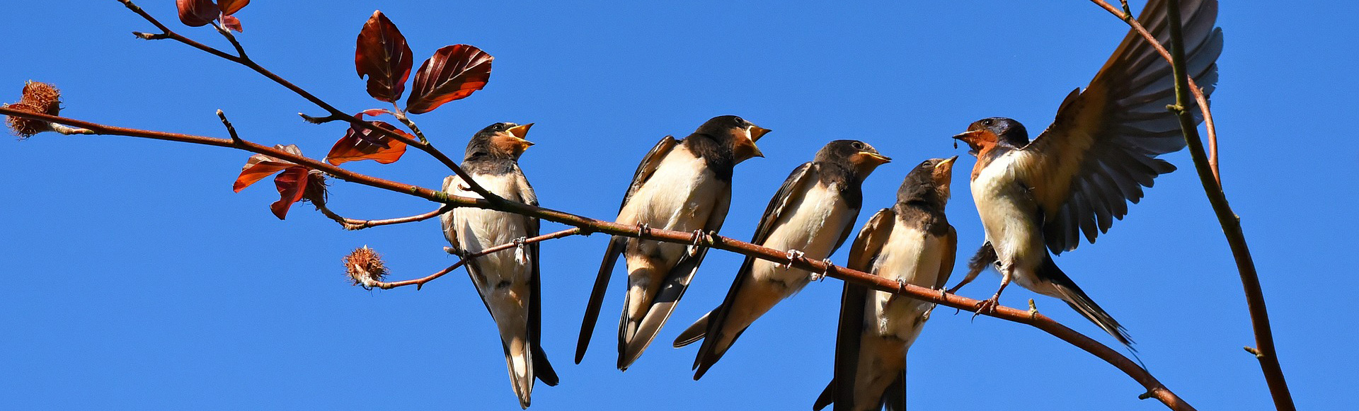 Beneficial Management Practices of Ontario's Swallows