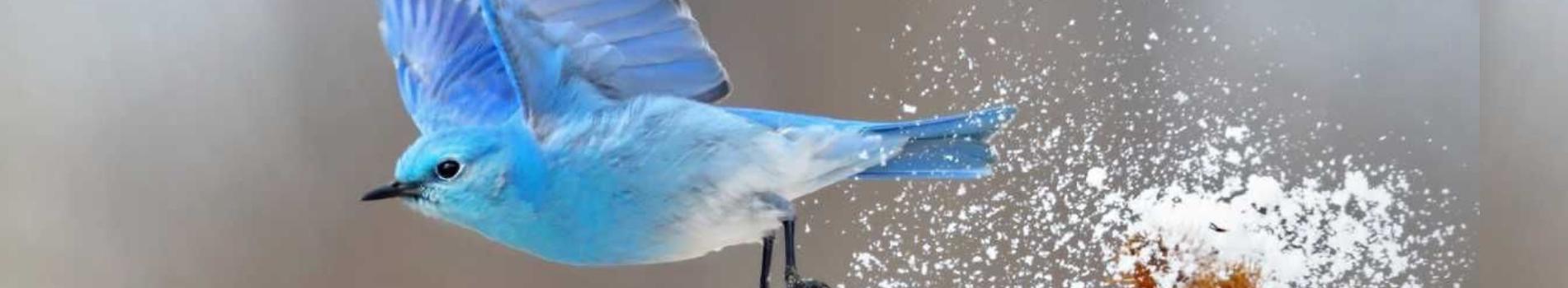 Calendar Image – The Mountain Bluebird