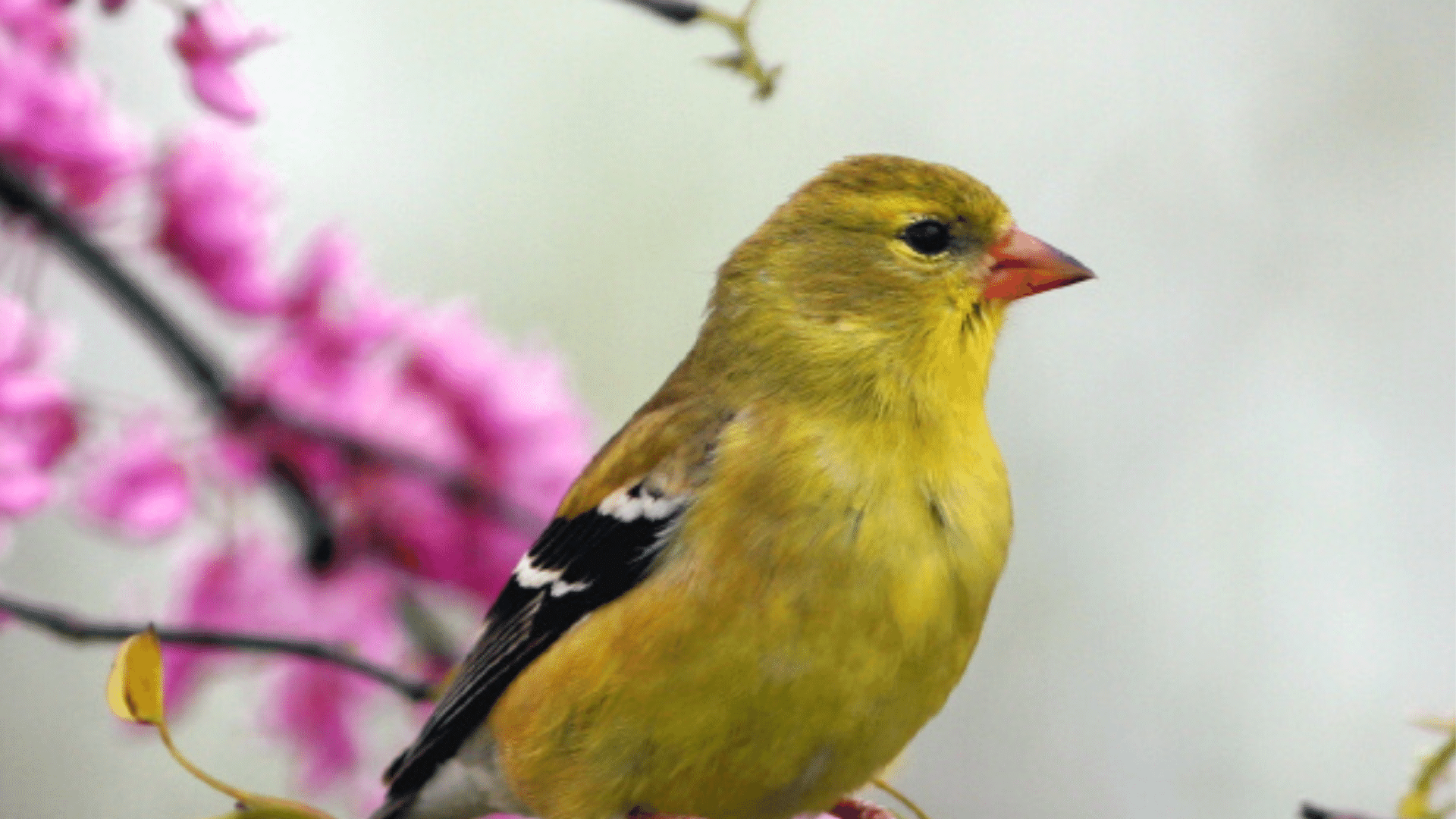 Image of an American Goldfinch